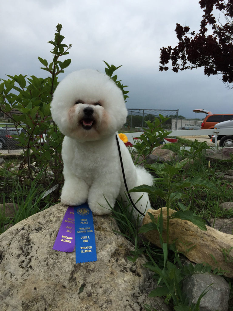 Bichon Frise Tikaas Legal Tender aka Cash AKC Winner Dog
