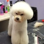 Cammie the Bichon Frise in the Asian Fusion Hair Style Face