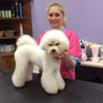 Cammie the Bichon Frise in the Asian Fusion Hair Style Front
