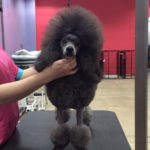 Chip Show Mini Poodle Silver Front Spray up