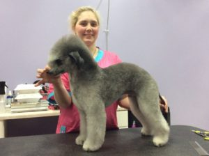Quinn Bedlington Terrier Show Trim