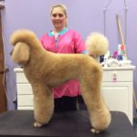Sophera the Standard Poodle in a Show Clip Modern